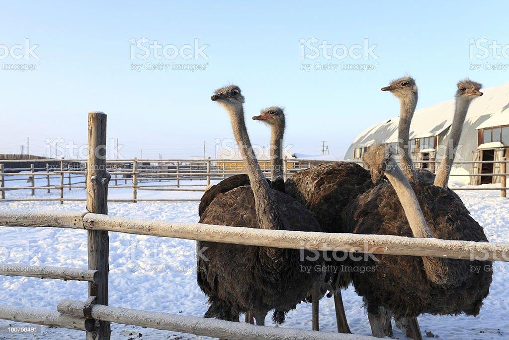 Ostriches in Siberia stock photo