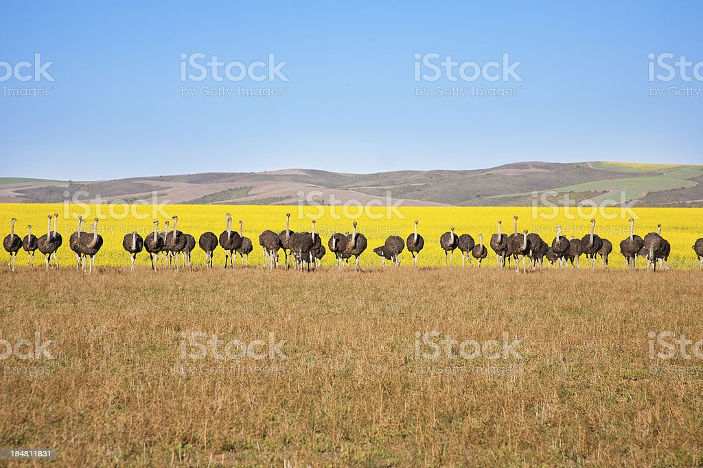 Ostriches in straight line, South Africa stock photo