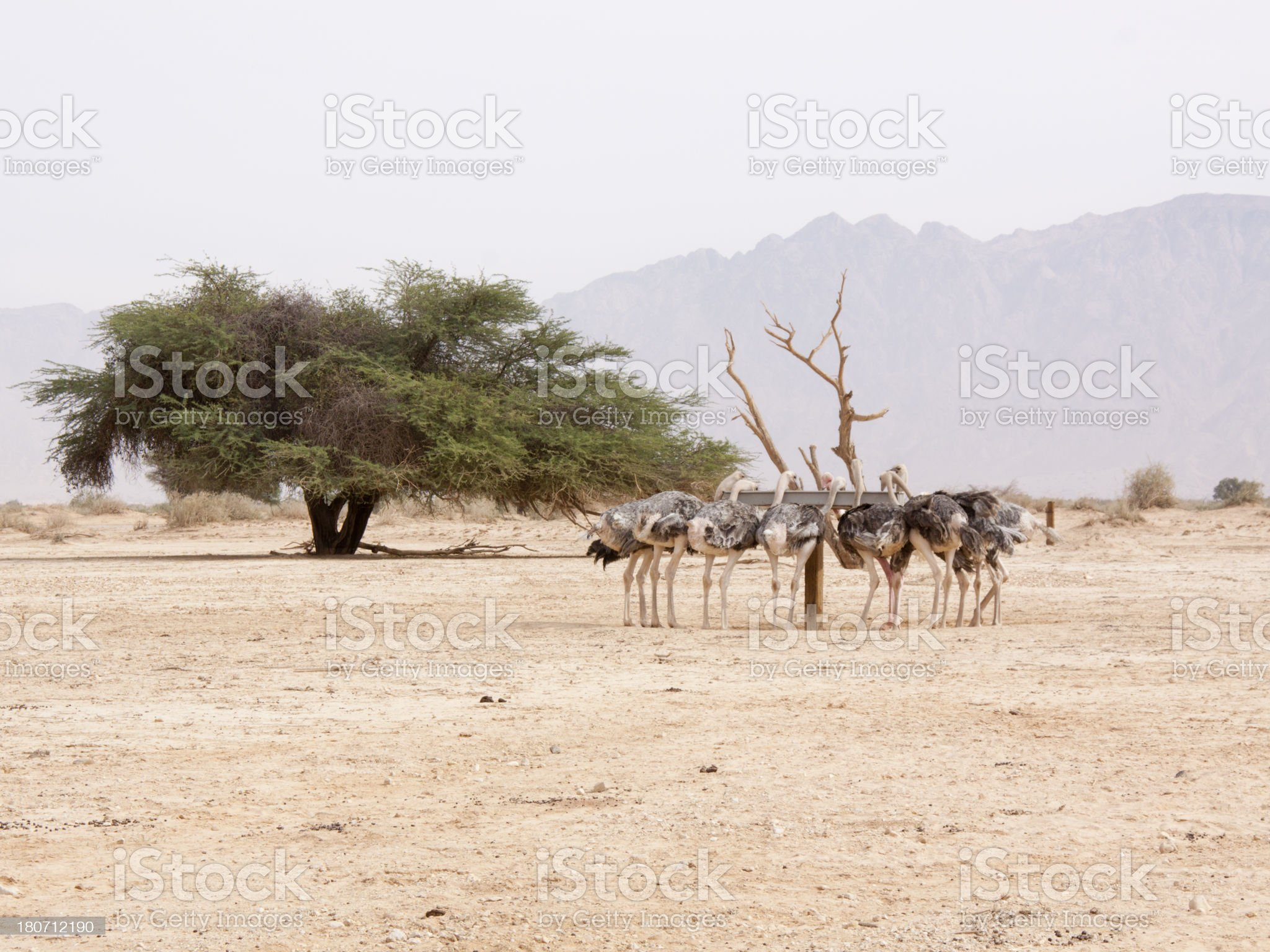 Ostriches in the desert royalty-free stock photo