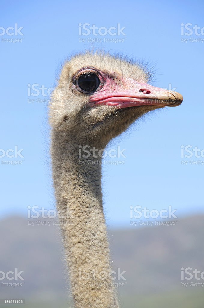 Ostriches in the Klein Karoo, South Africa royalty-free stock photo