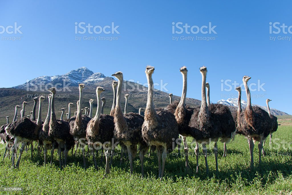 Ostriches in the Oudtshoorn district in South Africa 2 stock photo
