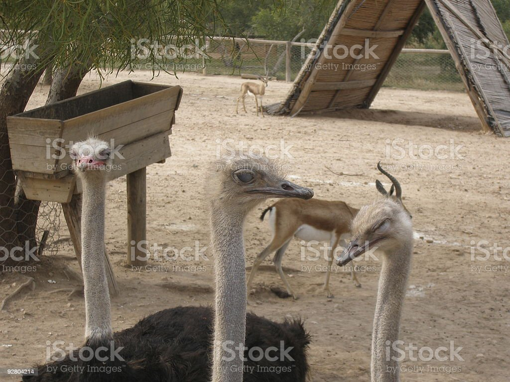 Ostriches royalty-free stock photo
