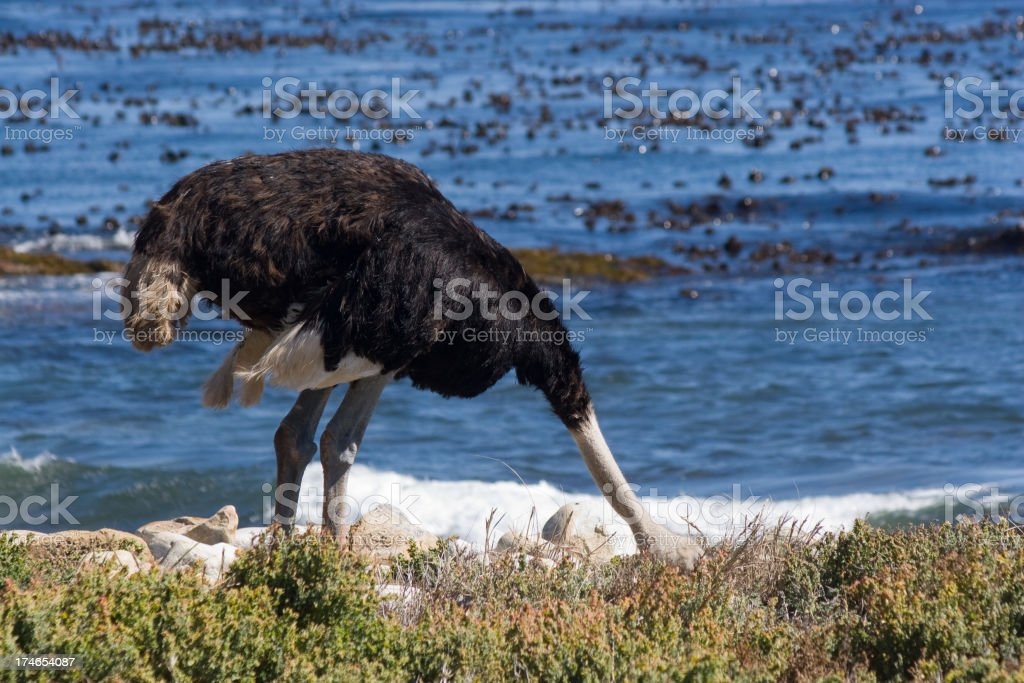 Ostrich's Myth royalty-free stock photo