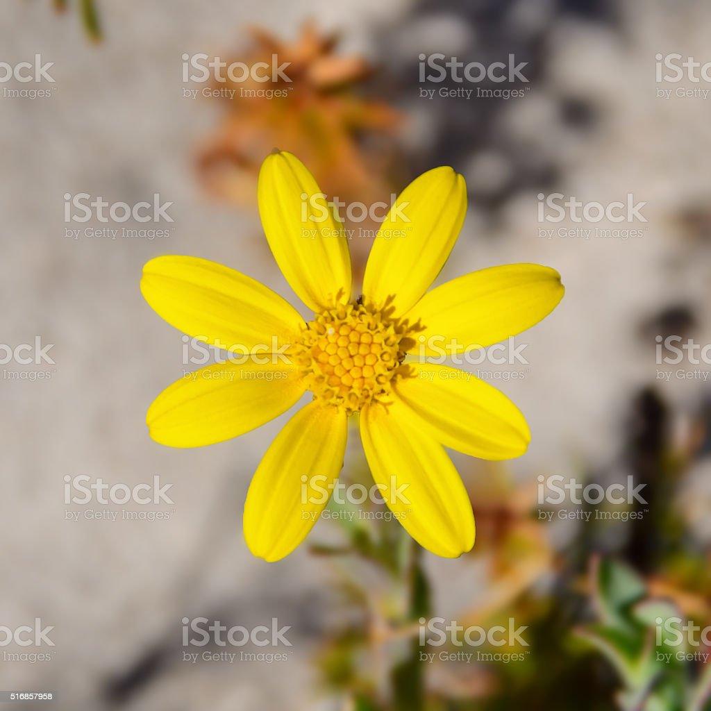 Othonna coronopifolia stock photo