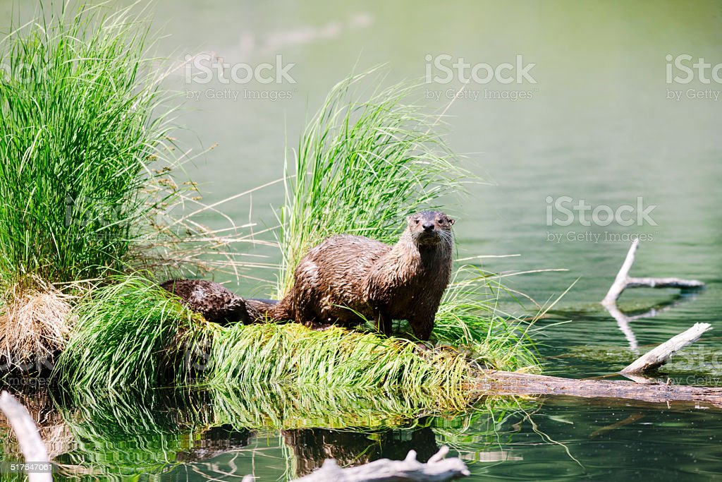 Otter at Trout Lake, Yellowstone stock photo