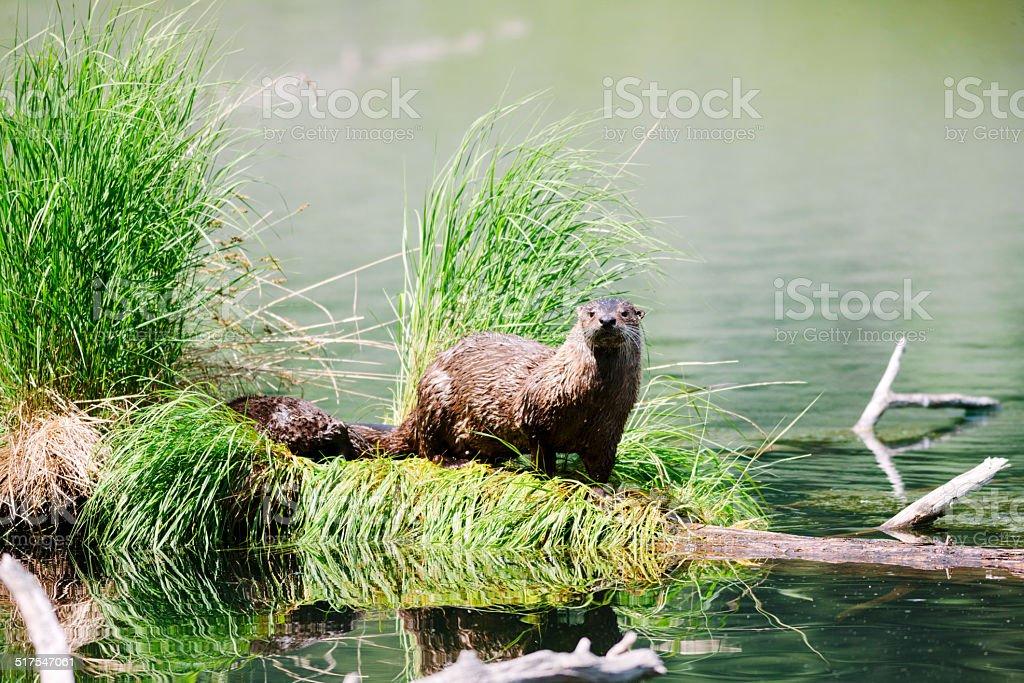 Otter at Trout Lake, Yellowstone stock photo