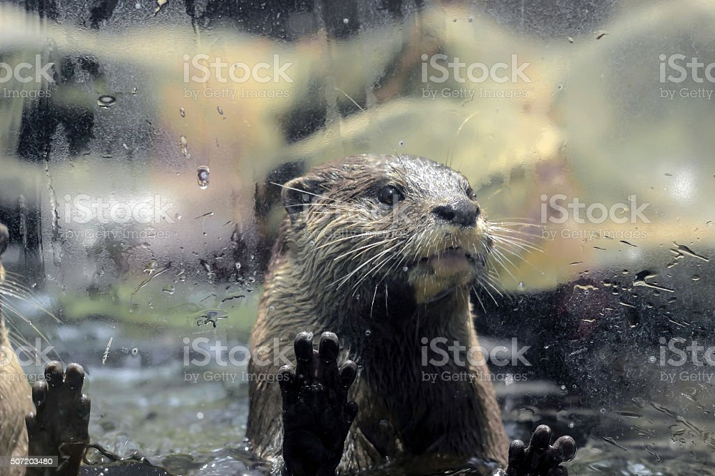 otter behind glass fence stock photo