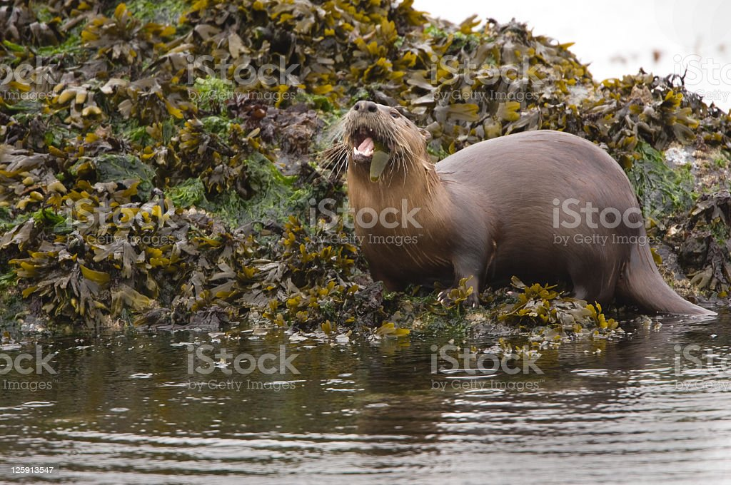 Otter Eating a Sea Cucumber stock photo