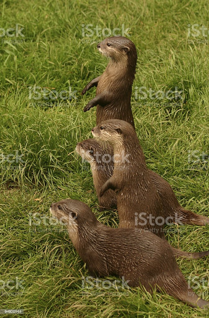 Otter family stock photo