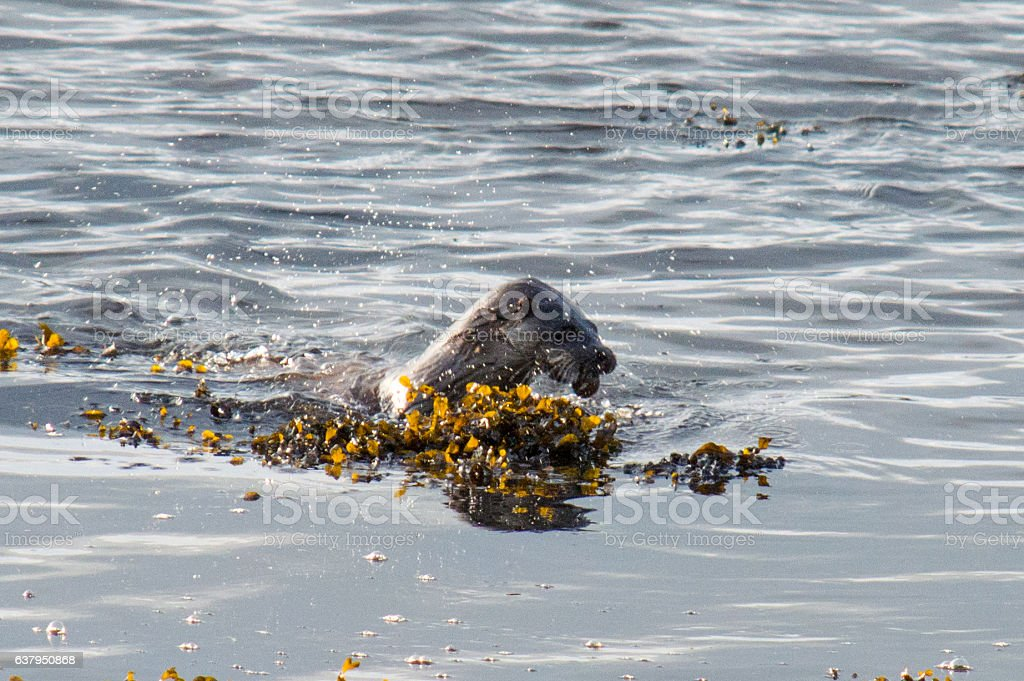 Otter hunting in open water stock photo