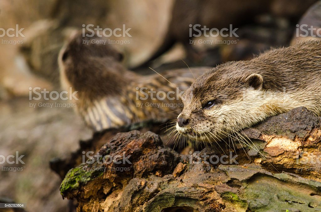 Otter in nature stock photo