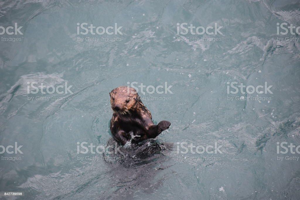 Otter in Resurrection Bay stock photo