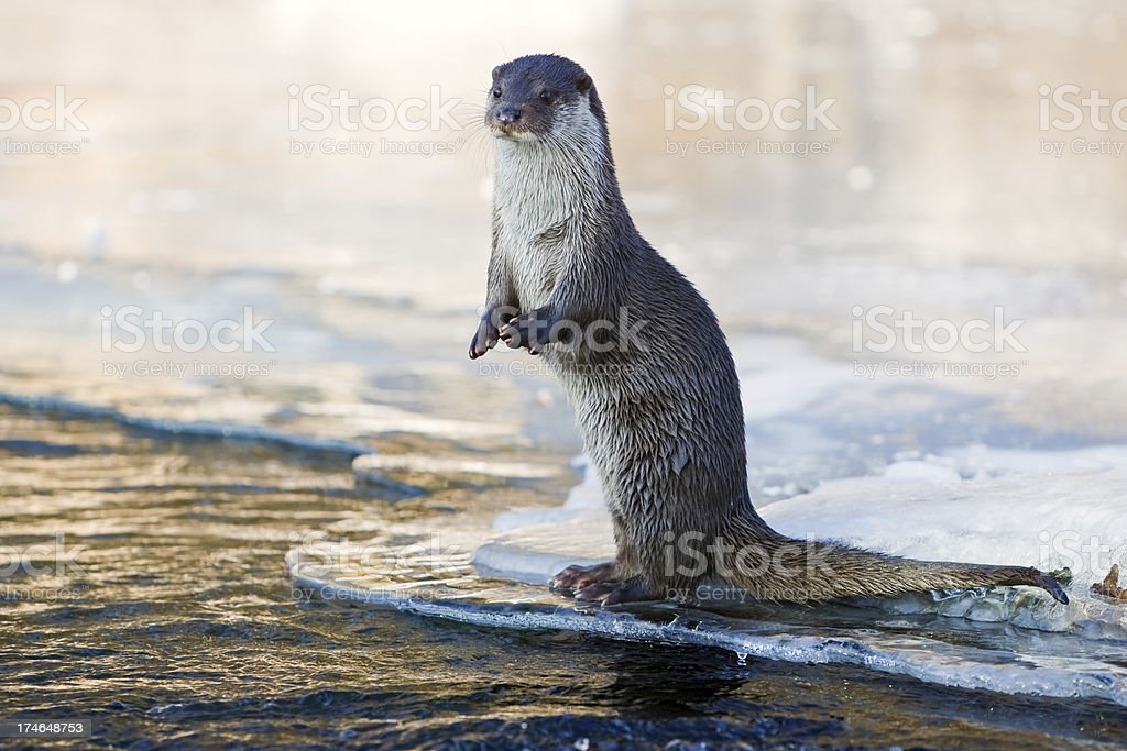 Otter In The Evening stock photo