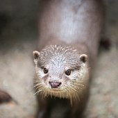 Otter looks out