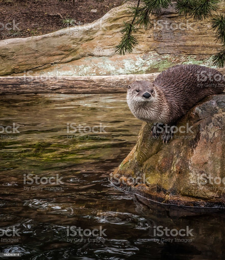 Loutre sur rock photo libre de droits
