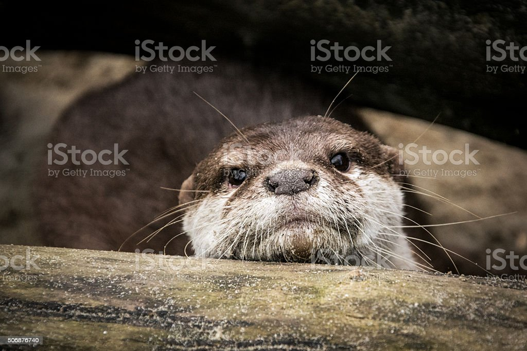 Otter on sandy river bank under fallen tree stock photo