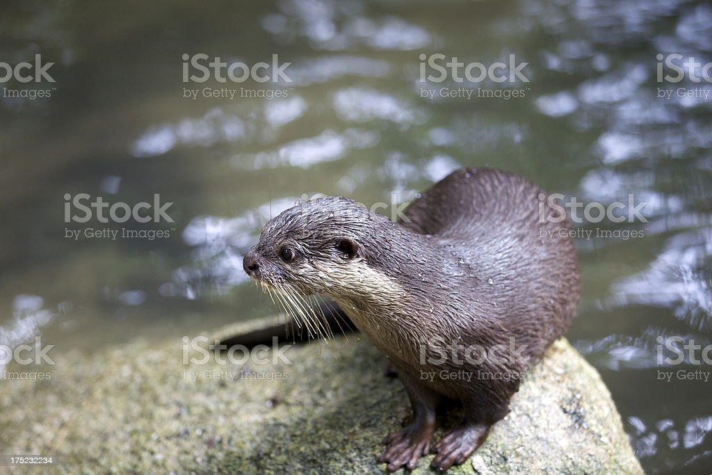 Otter royalty-free stock photo