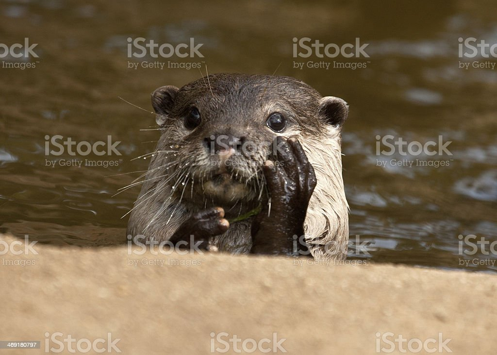 Otter stock photo