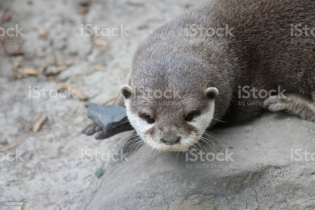 Otter Playing royalty-free stock photo