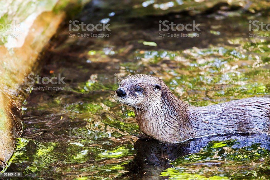 Otter swimming in the water stock photo