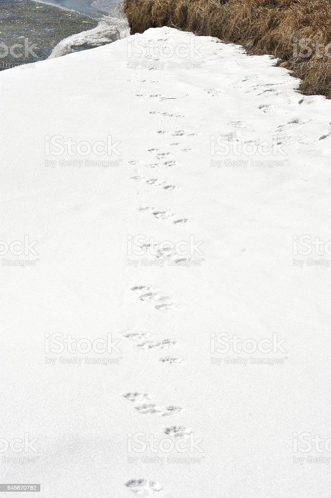 Otter tracks stock photo