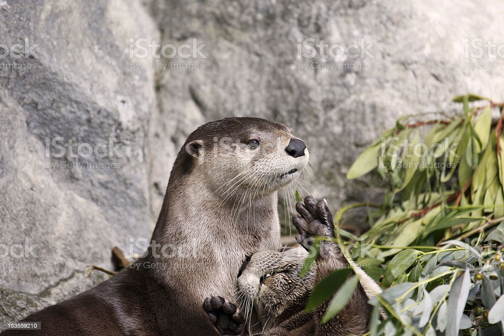 Otter Watch royalty-free stock photo
