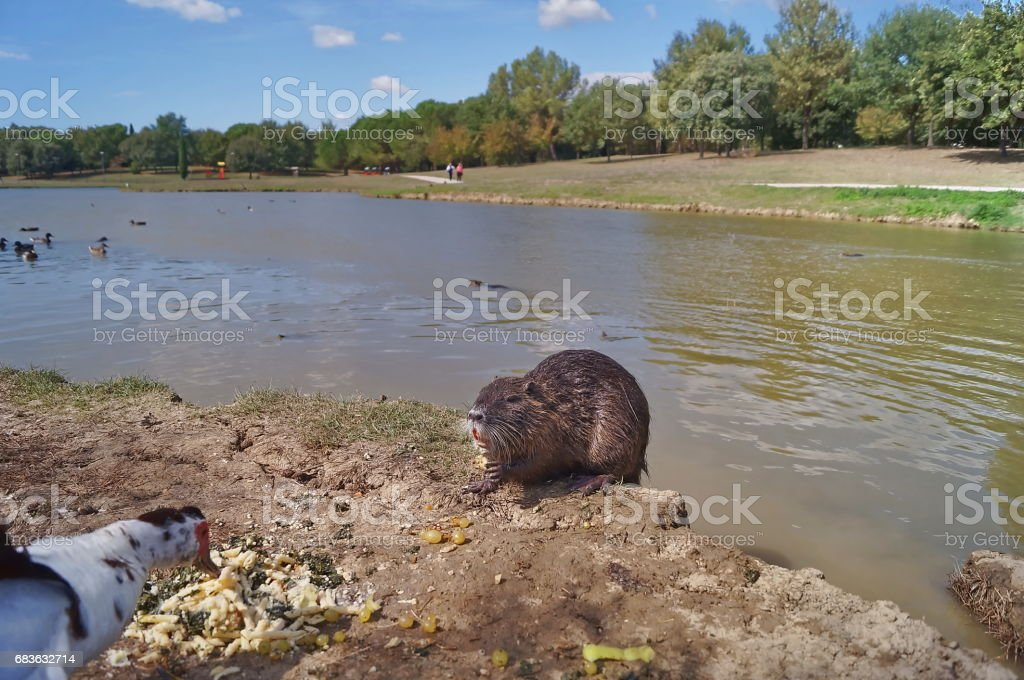Otters and muscovy duck in Serravalle Park, Empoli stock photo