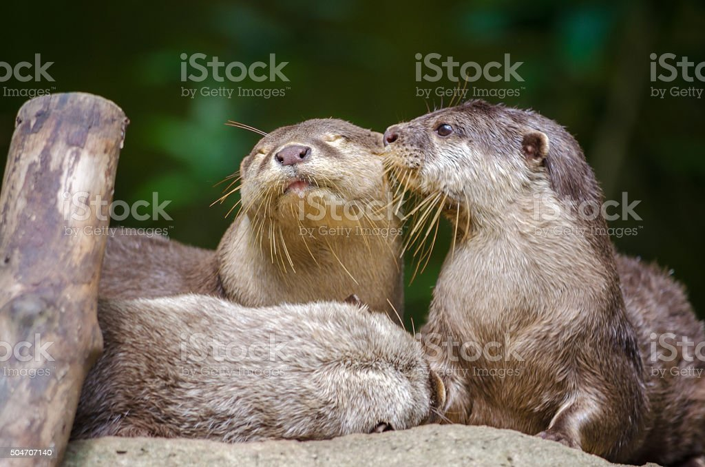 Otters kissing stock photo