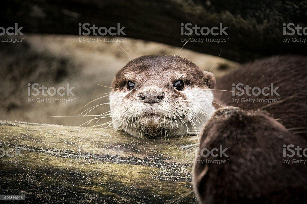 Otters on sandy river bank under fallen tree stock photo