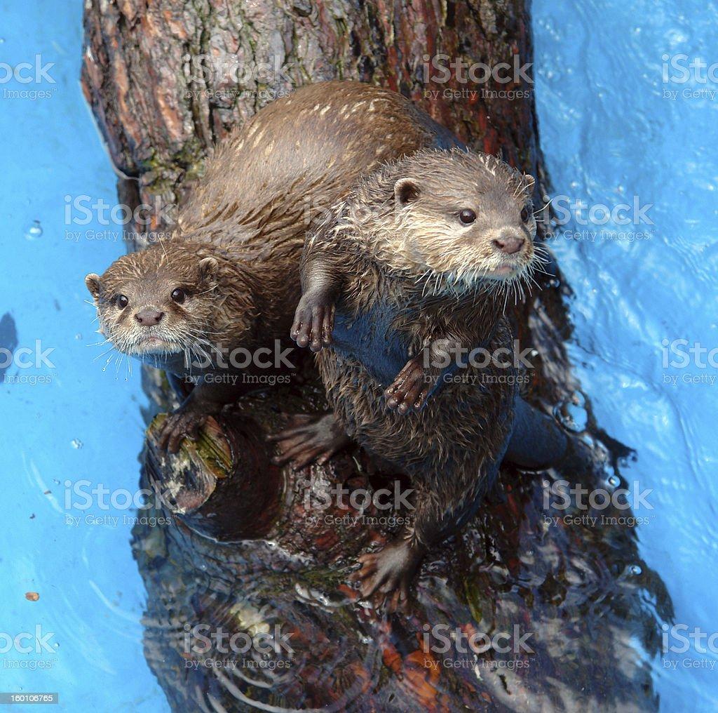 otters stock photo