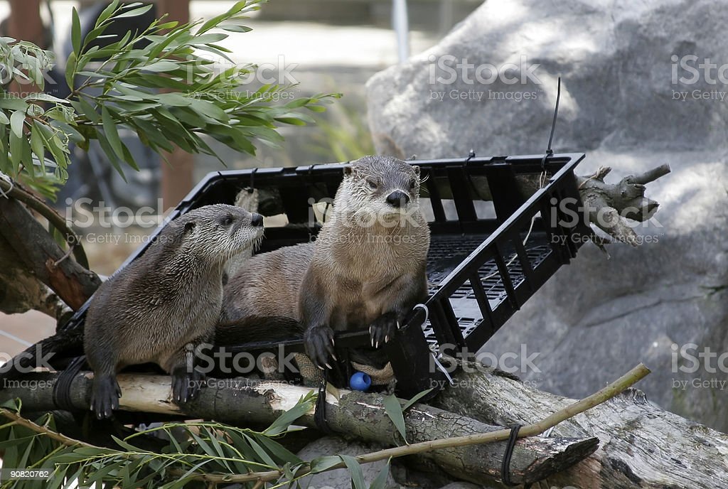 Otters royalty-free stock photo