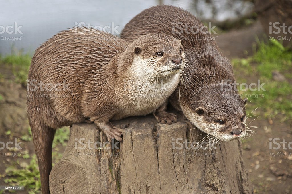 Otters sitting on tree trunk stock photo