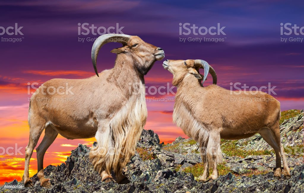ouple of barbary sheeps in sunset time stock photo