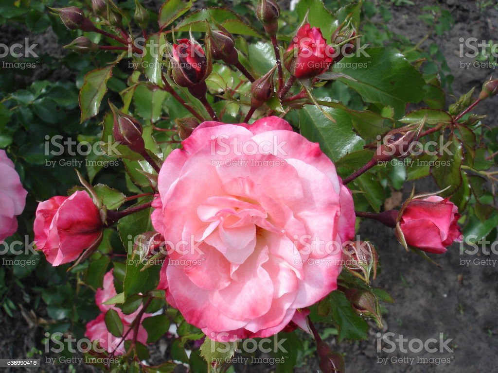 Our Rosy Carpet Rose buds and flowers stock photo