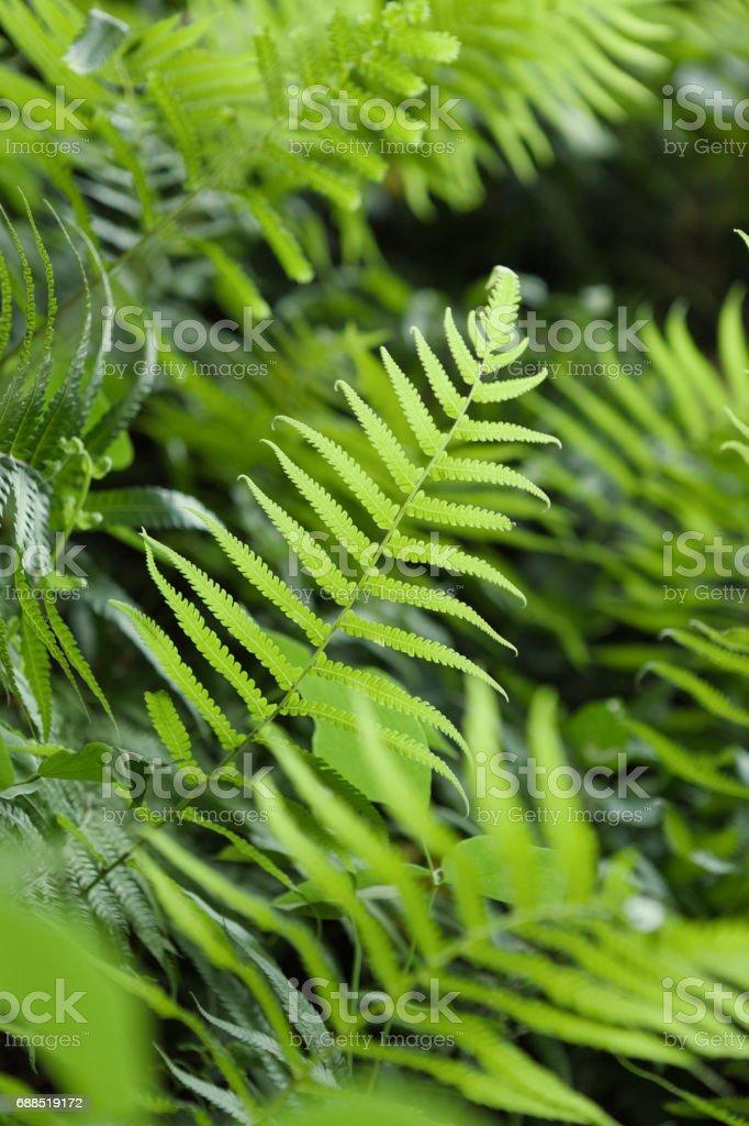 Ourdoors shot of fern or pteridium aquilinum shrub stock photo