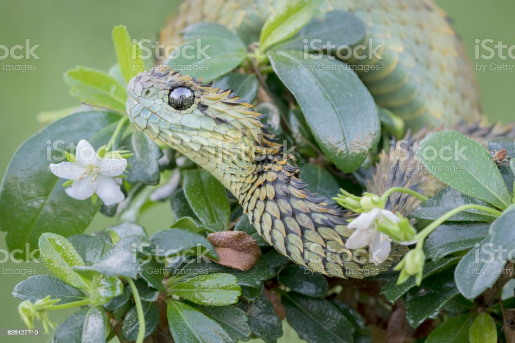 ous Hairy Bush Viper Snake on plant stock photo