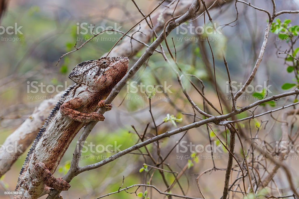 Oustalet Chameleon camouflaged on a brown forest stock photo