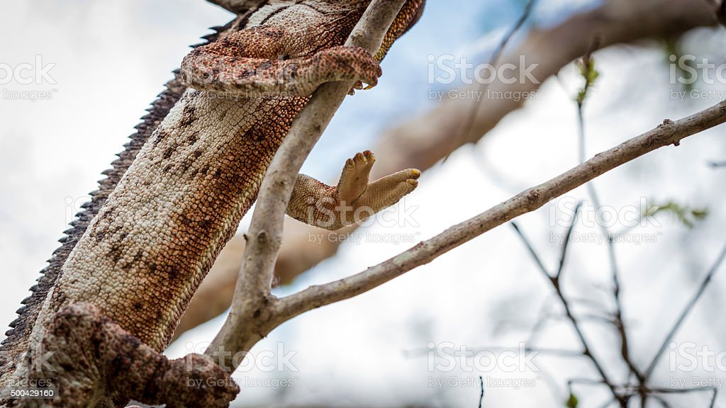 Oustalet Chameleon hand on a branch tree stock photo