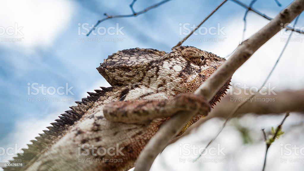 Oustalet chameleon portrait in a forest on a blue background stock photo