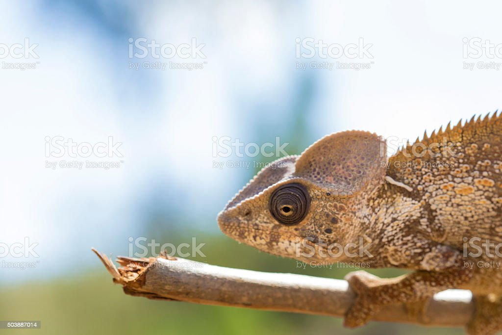 Oustalet's brown Chameleon head stock photo