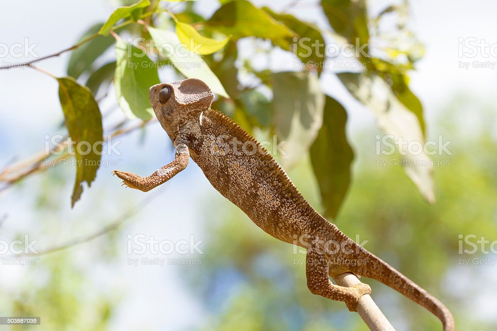 Oustalet's brown Chameleon jumping in Madagascar stock photo