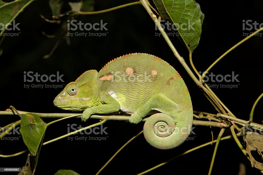 Oustalet's Chameleon in Madagascar stock photo