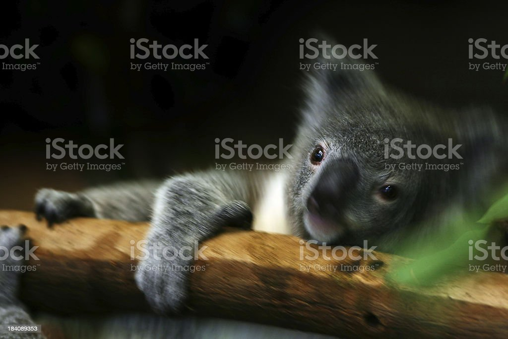 Out on a Limb royalty-free stock photo