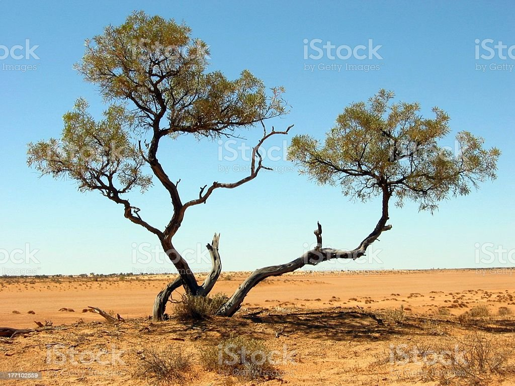 Outback Desert Tree royalty-free stock photo