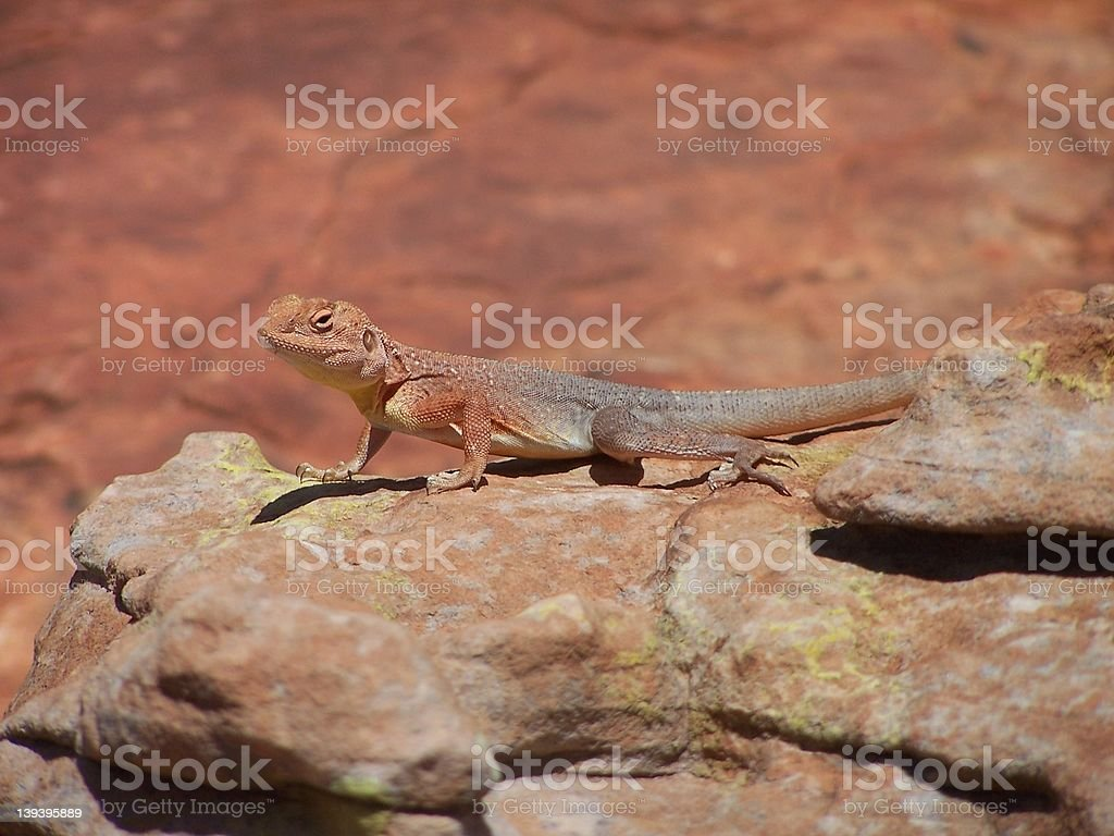 outback lizard royalty-free stock photo