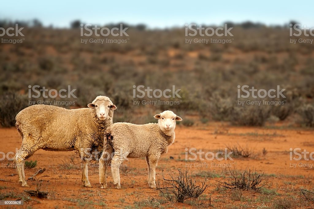 Outback Sheep royalty-free stock photo