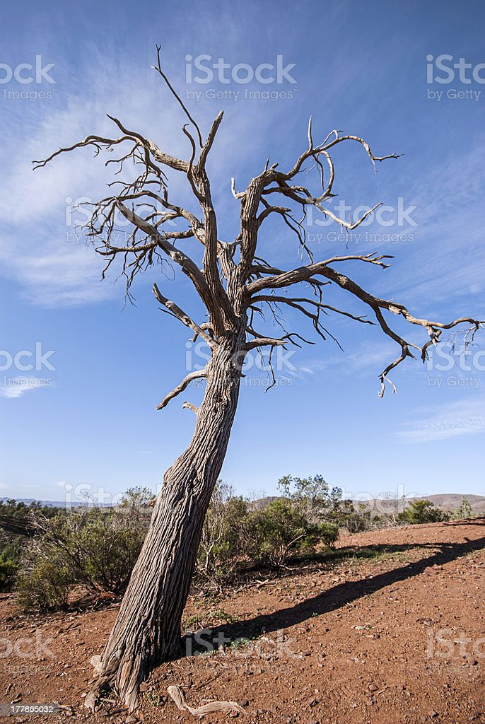 Outback Tree royalty-free stock photo