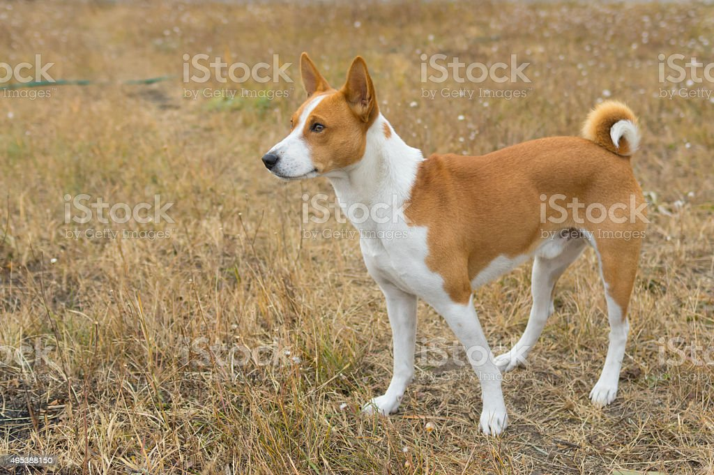 Outdoor portrait of Basenji dog in autumnal grass stock photo