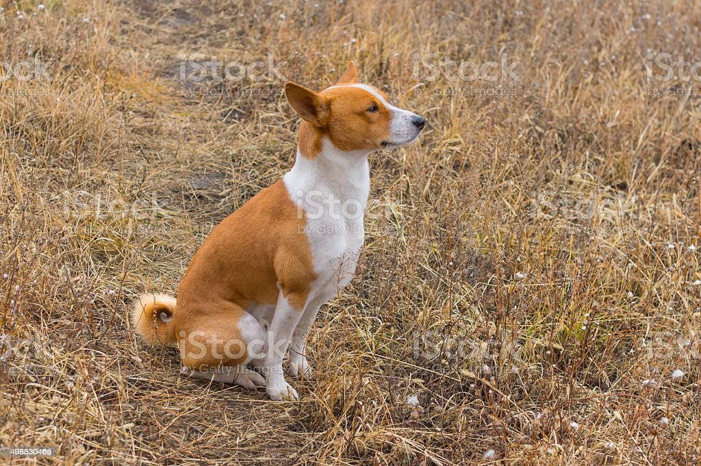 Outdoor portrait of Basenji dog stock photo