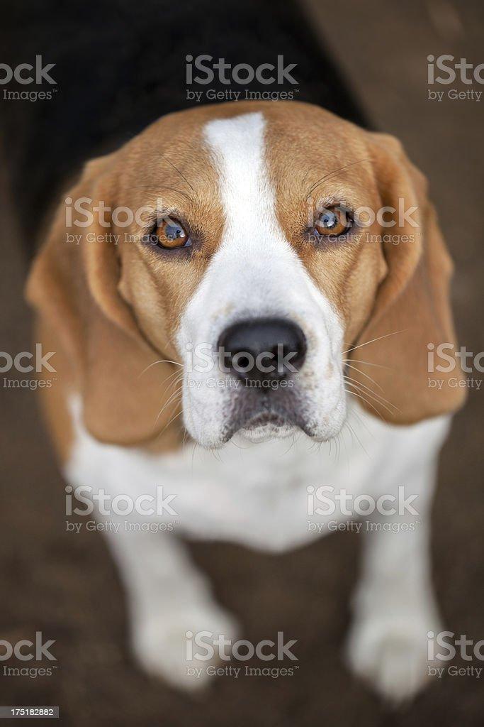 Outdoor portrait of beagle stock photo